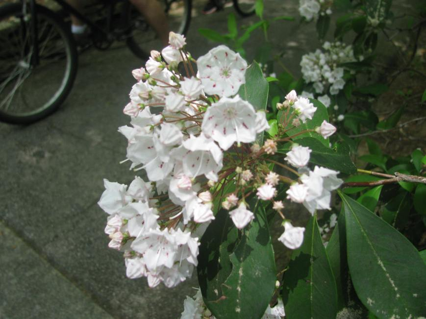 Blossoming mountain laurel outside of the little Callaway Chapel.