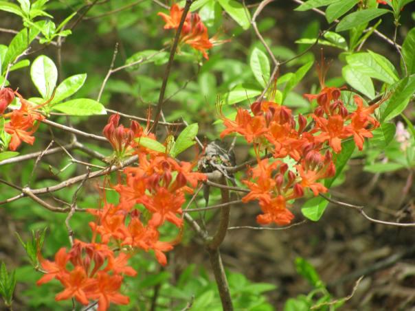 Native azaleas.