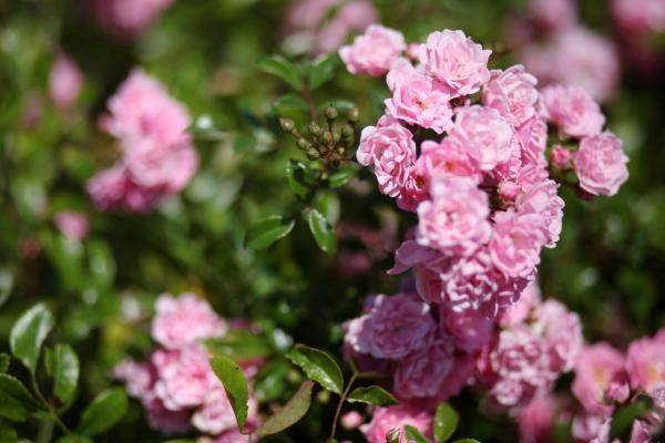 Romantic pink rose bush