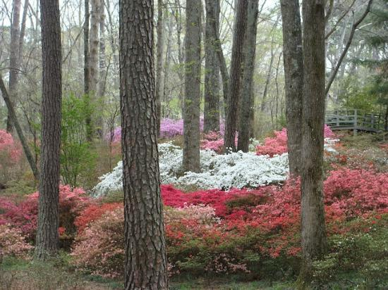 You will start your drive through the azaleas in spring.
