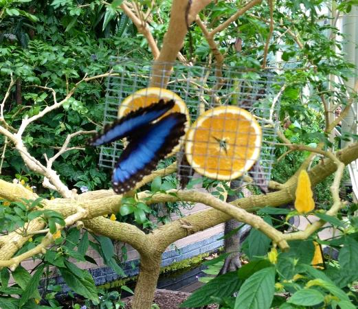 In the conservatory the butterflies  are free to fly around and feast on flower and fruit.  the children and adults alike love it when they land on their noses.
