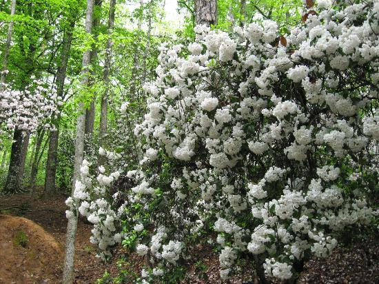 The mountain laurel blooms all around the embankments  surrounding the chapel.  There is a rocky creek that runs nearby.