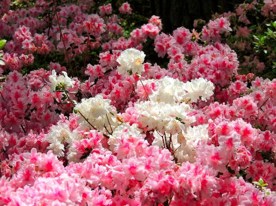 These pink and whites are the azaleas that The gardens are famous for, they bloom in march and April at their peak.