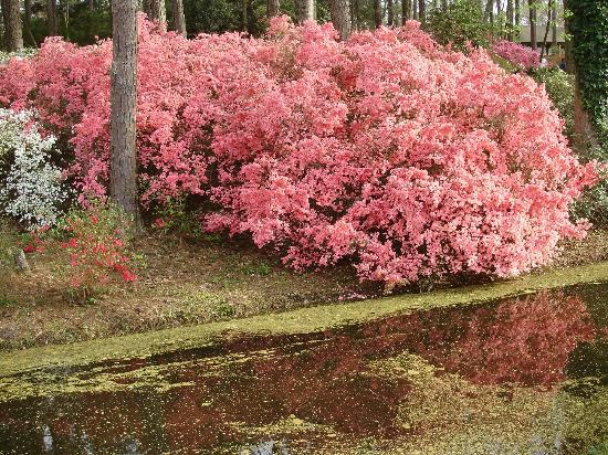 A pretty way to see the wild azaleas that bloom along the water's edge.