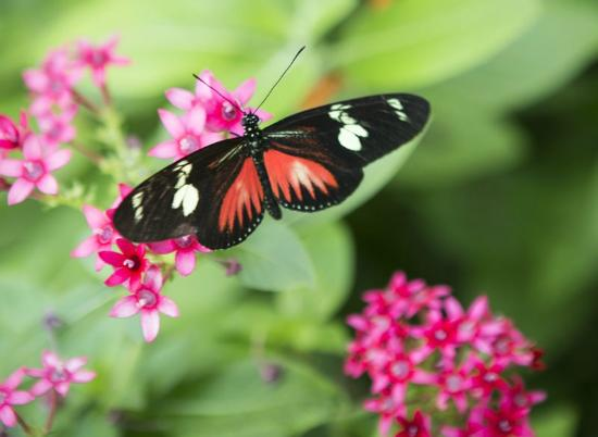 There are many unusual butterflies in the Butterfly Center.  They import the chrysalis and place them into special windwoed chambers where you can watch them emerge and then they set them free into the Conservatory.