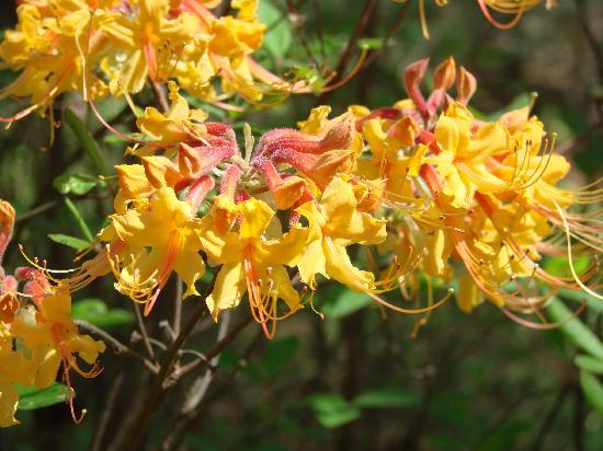 These are the wild yellow azaleas from Texas, but the pink ones are native to georgia.  They have a different flower that looks like a honeysuckle bloom up close.