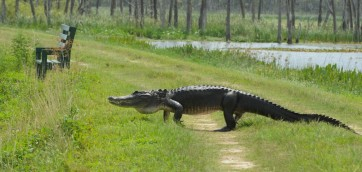 alligator_on_alligator_allee-1024x487