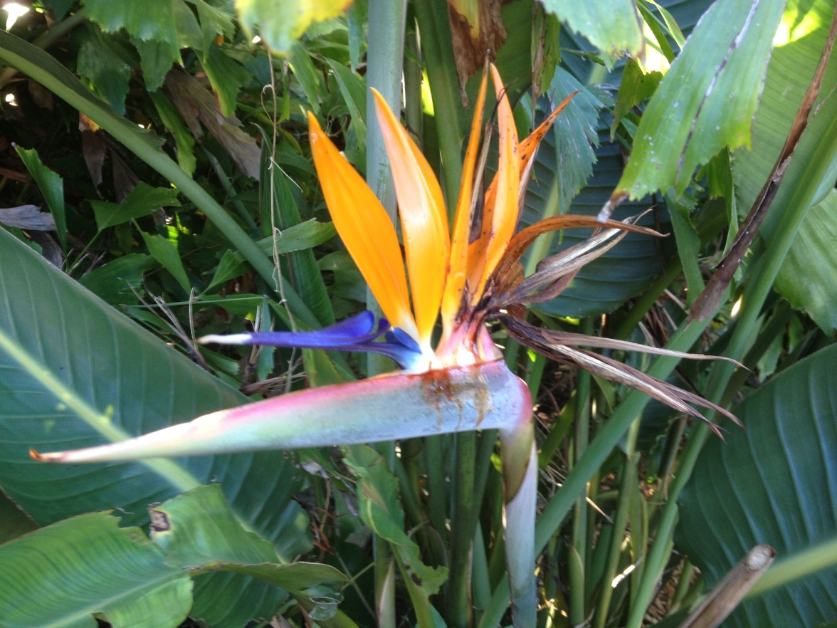 Bird -of-Paradise is just past its peak.