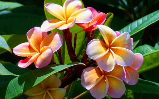 Plumeria Mardi Gras (also known as frangipani)