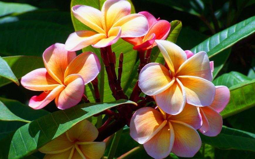 Plumeria Mardi Gras (also known as frangipani)