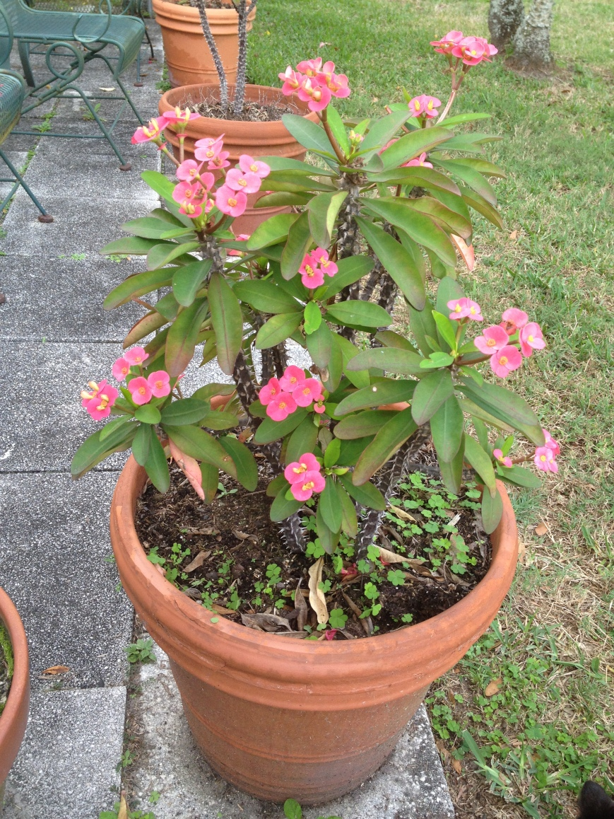 "Euphorbia ,""Crown of Thorns"", blooms year round."