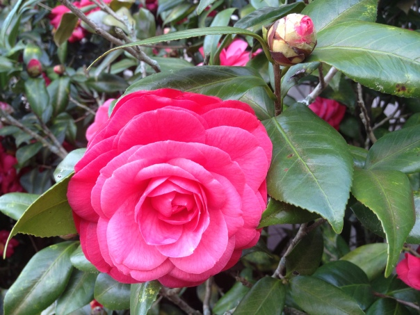 Hot Pink Camellias