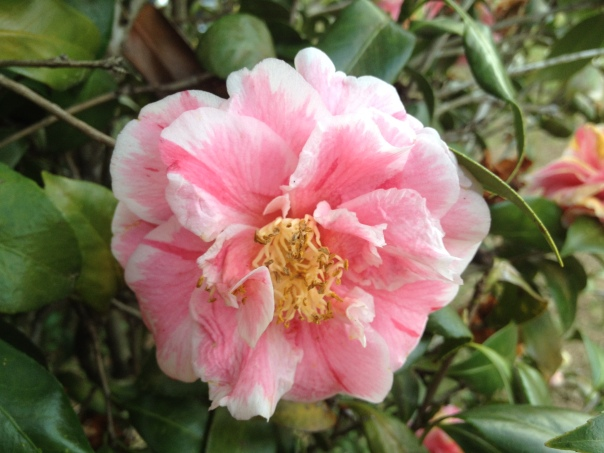Peppermint Camellias: Not the prettiest blooms as they are beginning to fade.