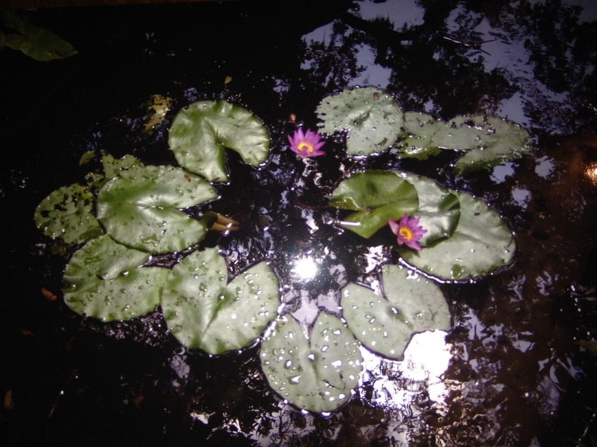 Wild waterlilies just because they're pretty.