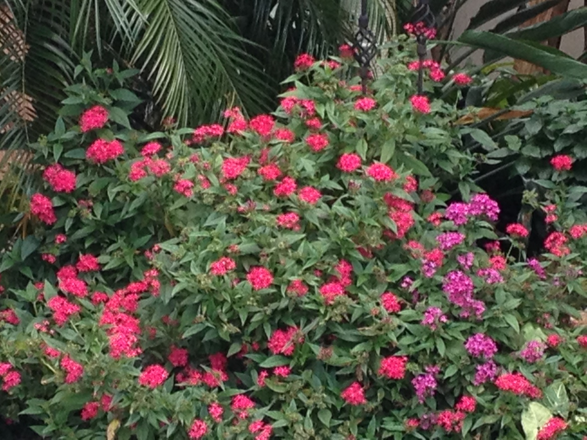 Colorful Pentas are always pretty. They bloom all year, unless it freezes.