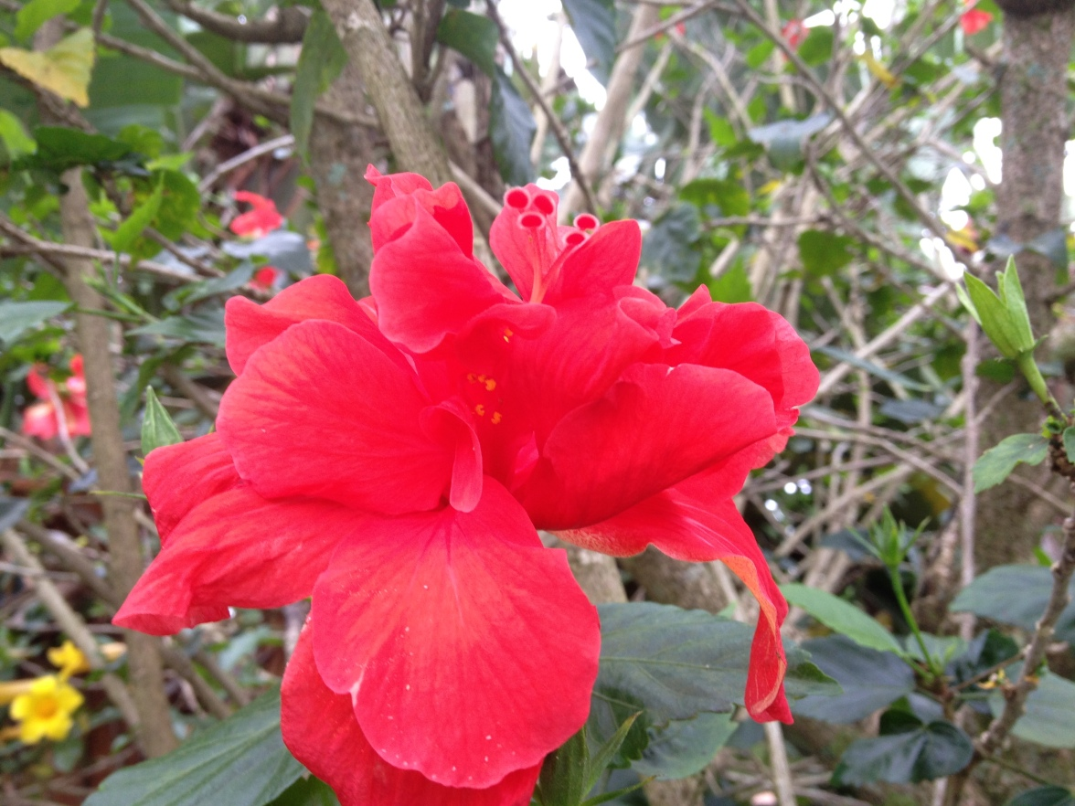 Bright red double hibiscus blossom. I love how frilly they are.
