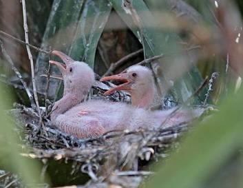 Rosette Spoonbill chicks.