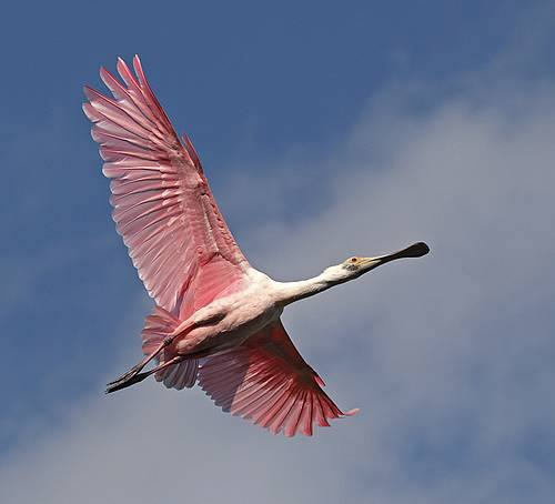 Rosette Spoonbill in flight.