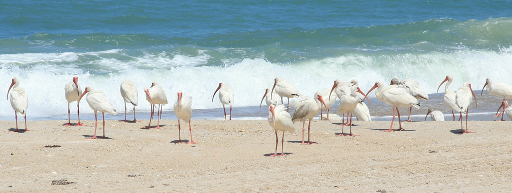 Ibis hanging out on the beach with the nudies.