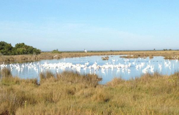 White pelicans, American egrets, Hooded Merganzers, rosette spoonbills and more flock here.