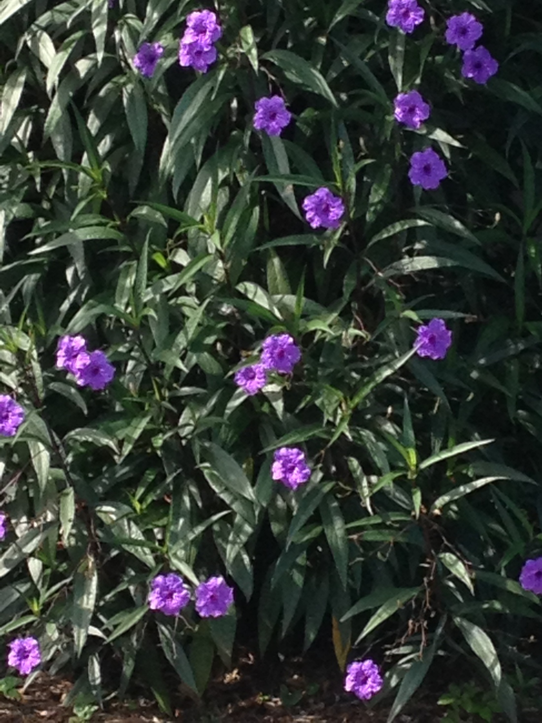Mexican petunia when it wakes up in the morning.
