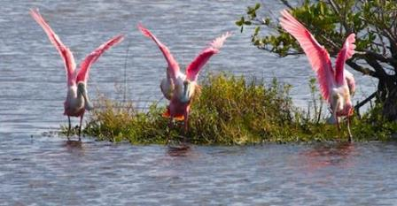 Spoonbills on the water.