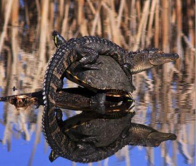 alligator on turtle