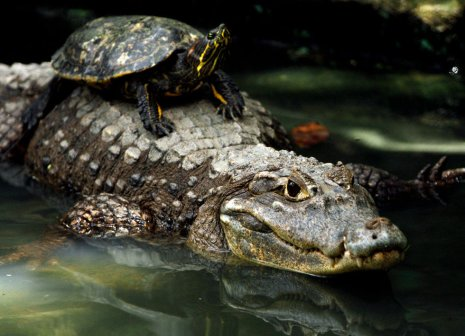 slider_alligator