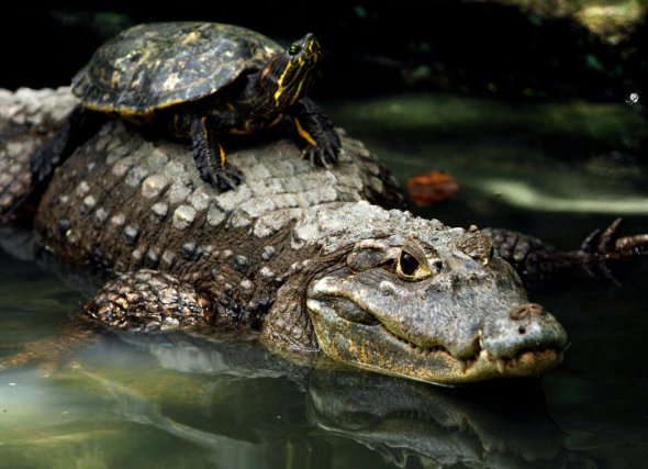 slider_alligator