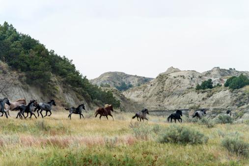 Wild Horse Herd stampeding